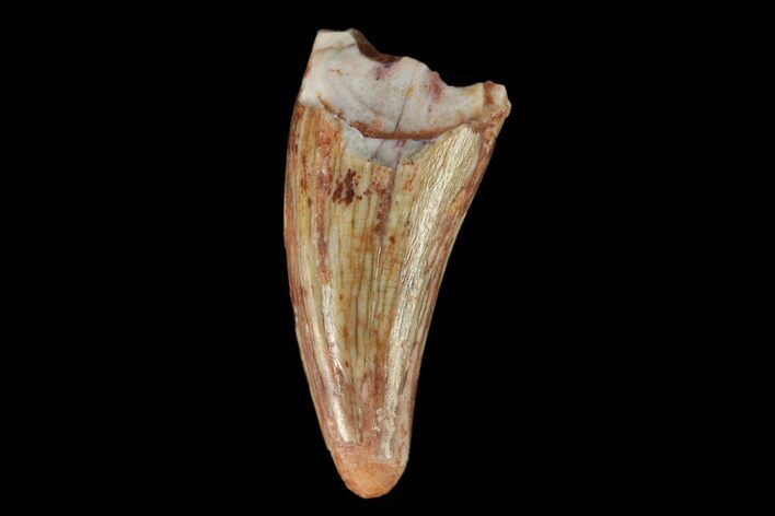 ".61"" Fossil Phytosaur Tooth - New Mexico"