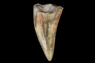 "Buy .78"" Fossil Phytosaur Tooth - New Mexico - #133360"