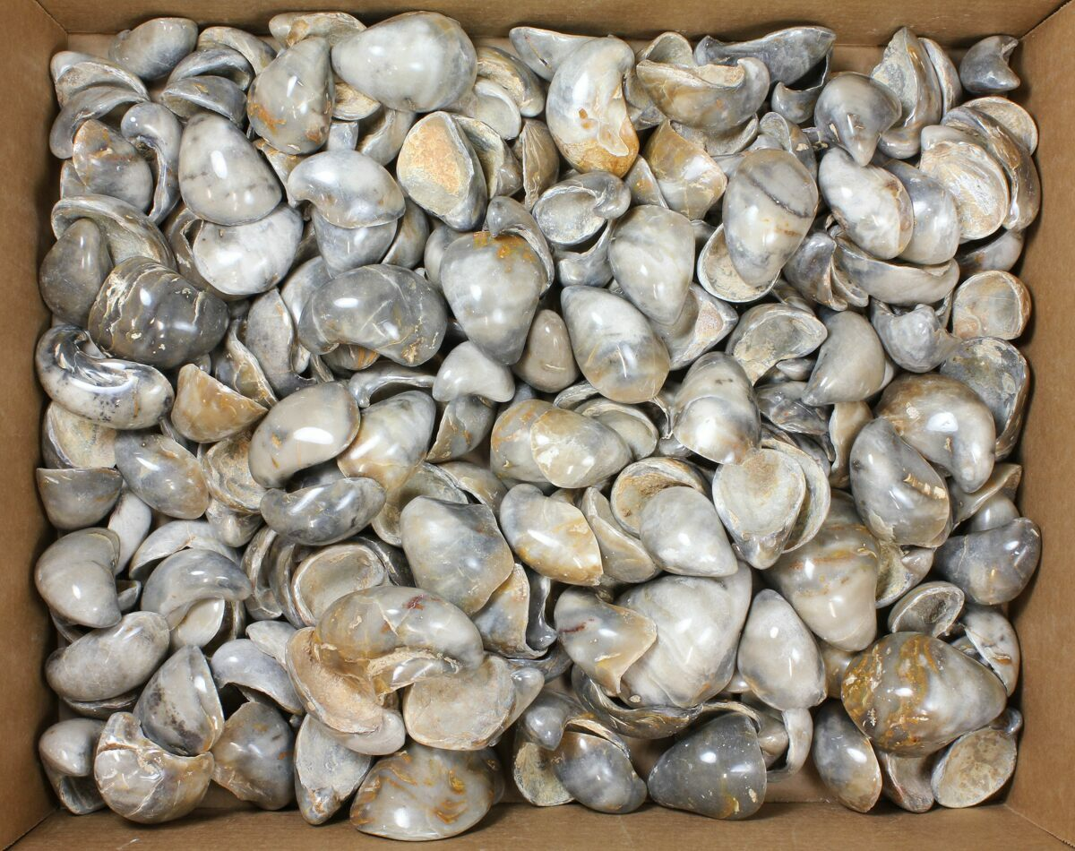 Wholesale Lot: Polished, Fossil Oyster Shells - ~200