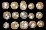 "Lot - 2.5 to 3"" Polished Goniatite Fossils - 90 Pieces - #133894-1"