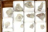 Lot: Blastoid Fossils On Shale From Illinois - 24 Pieces - #134137-2