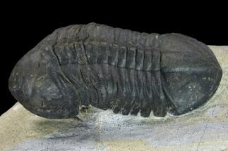 "Bargain, 3.2"" Struveaspis Trilobite - Small Eyed Phacopid For Sale, #134354"