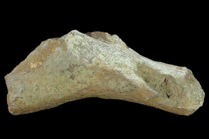 "6.4"" Fossil Dinosaur (Triceratops) Bone - North Dakota"