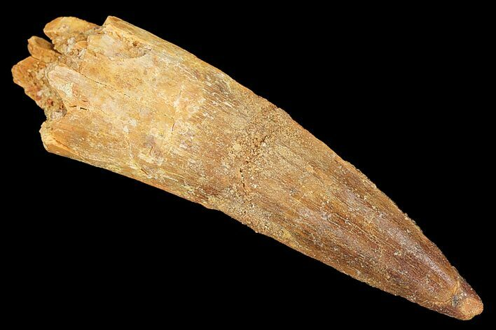 "2.28"" Real Spinosaurus Tooth - Nice Tip"