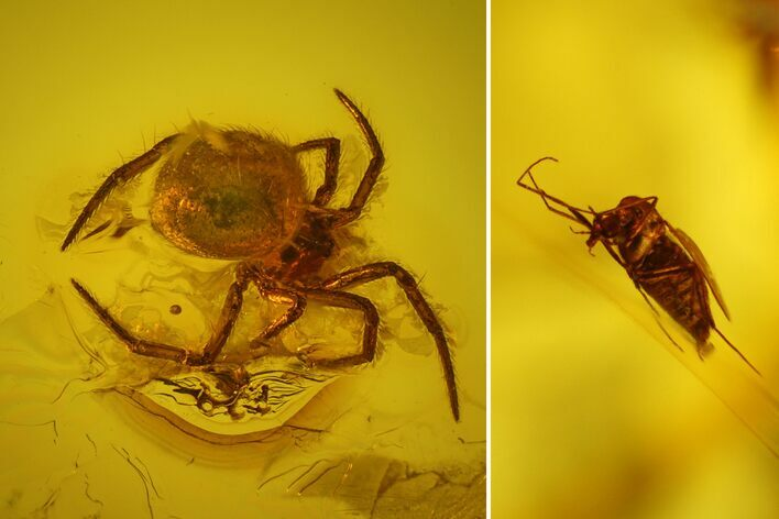 Fossil Fly (Diptera) and Small Spider (Araneae) in Baltic Amber