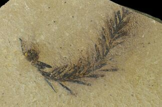 Dawn Redwood (Metasequoia) Fossil - Montana For Sale, #135746