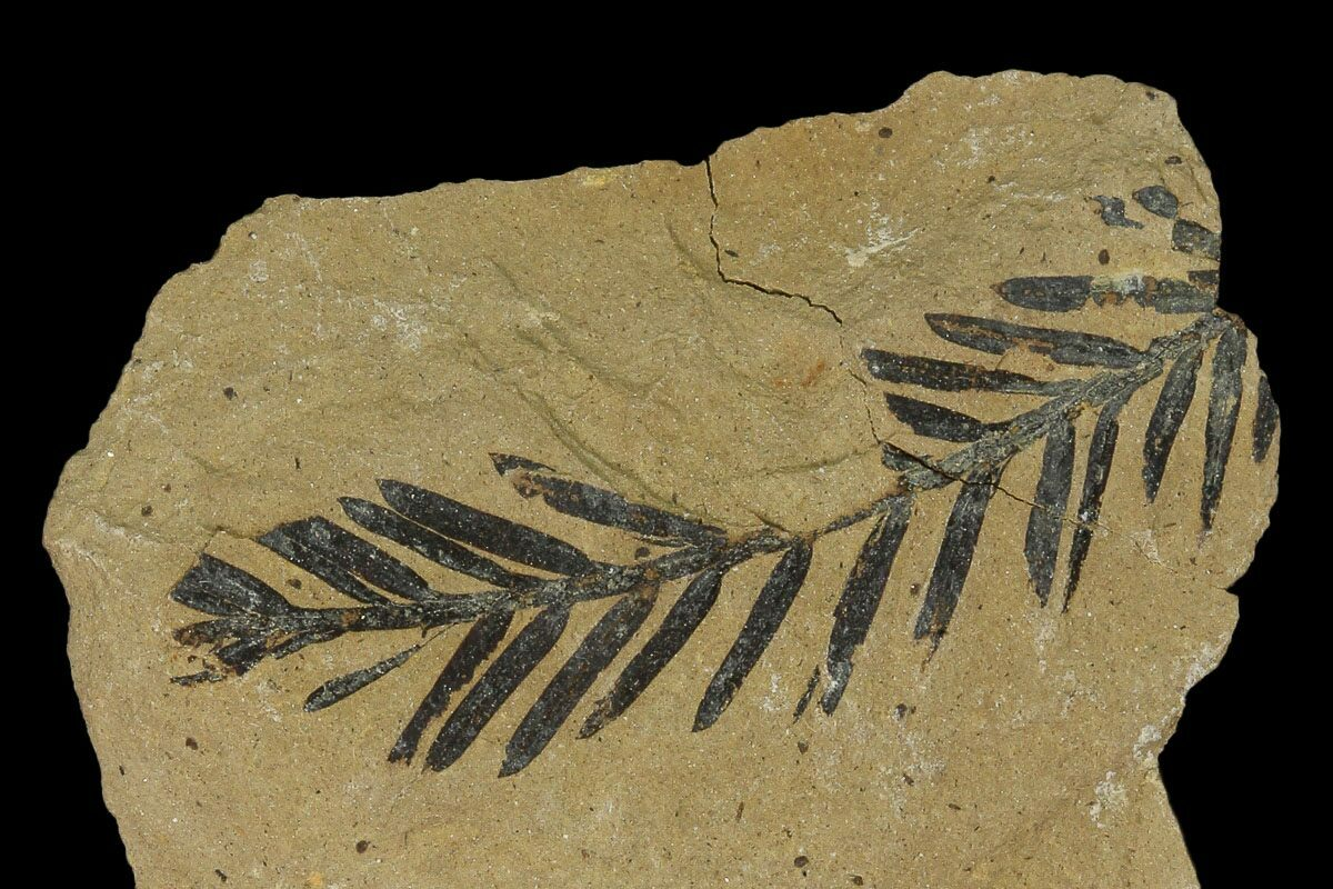 Dawn Redwood  Metasequoia  Fossil