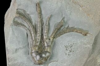 Scytalocrinus disparilis - Fossils For Sale - #135552