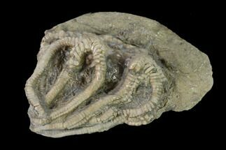"1.7"" Fossil Crinoid (Agaricocrinus) - Crawfordsville, Indiana For Sale, #135542"