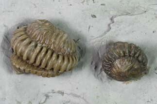Two Enrolled Flexicalymene Trilobites - Cincinnati, Ohio For Sale, #135533