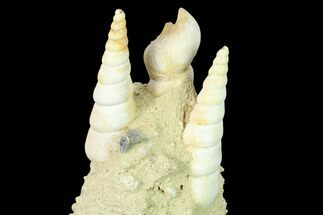 "4.5"" Fossil Gastropod (Haustator) Cluster - Damery, France For Sale, #136010"