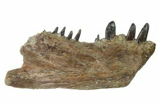 "Buy 8.3"" Cretaceous Monster Fish (Xiphactinus) Jaw - Kansas - #136441"