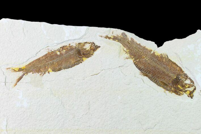 Bargain Pair of Fossil Fish (Knightia) - Green River Formation