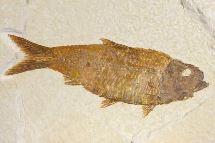 "3.9"" Fossil Fish (Knightia) - Green River Formation - Wyoming"
