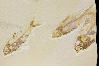 Buy Trio of Bargain Fossil Fish (Knightia) - Green River Formation - #136825
