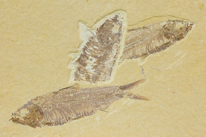 Trio of Fossil Fish (Knightia) - Green River Formation - Wyoming