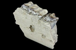 "2.2"" Oreodont (Merycoidodon) Jaw Section - South Dakota For Sale, #136049"