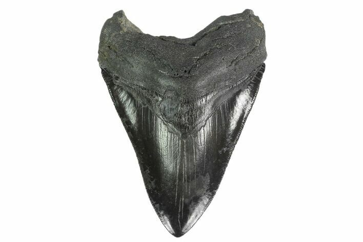 "Serrated, 4.44"" Fossil Megalodon Tooth - South Carolina"