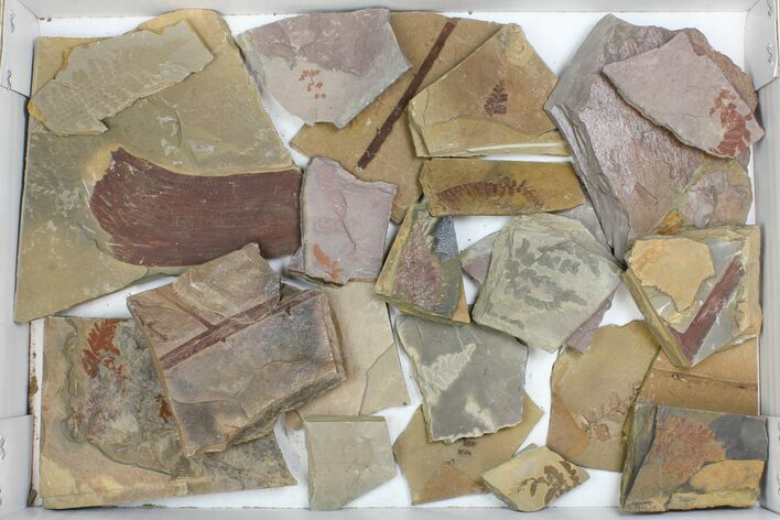 Wholesale Flat - Assorted Plant Fossils From Manning Shale - 21 Pieces