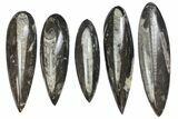 "Wholesale Lot: 5 to 8"" Polished Orthoceras Fossils - 99 Pieces - #136395-1"