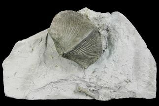 Paraspirifer bownockeri - Fossils For Sale - #136656