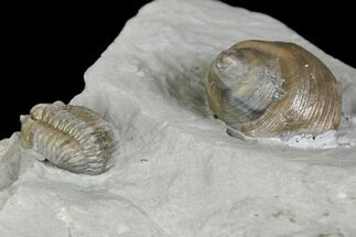 Flexicalymene Trilobite Fossil and Gastropod - Ohio For Sale, #136982