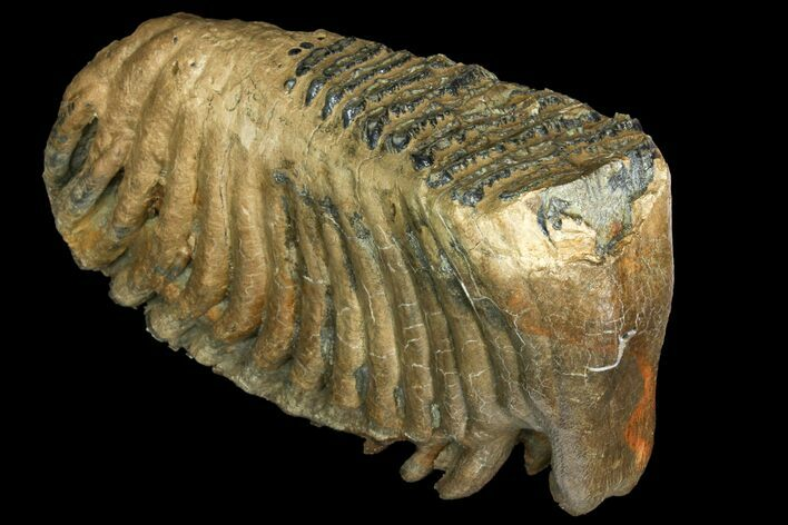 "14.2"" Palaeoloxodon (Mammoth Relative) Molar - Collector Quality!"