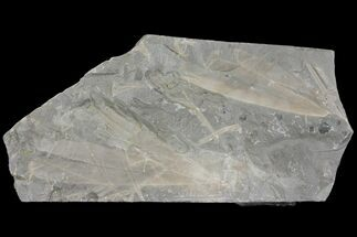Ginkgoites ginkgoides - Fossils For Sale - #136959