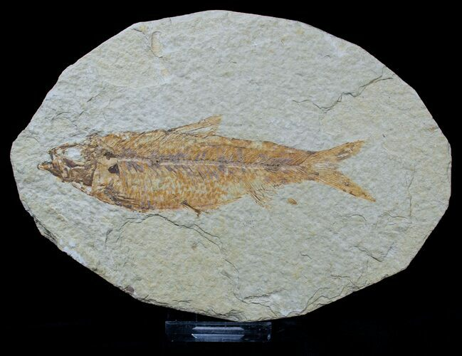 Bargain Knightia Fossil Fish