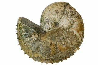 "Buy 4.35"" Fossil Ammonite (Jeletzkytes) - South Dakota - #137272"