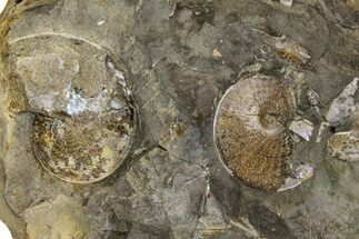 Buy Fossil Ammonites (Sphenodiscus) in Rock - South Dakota - #137284