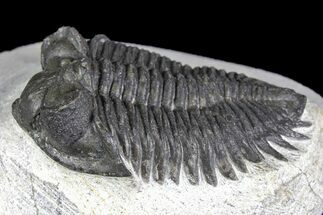 Coltraneia oufatenensis - Fossils For Sale - #137325