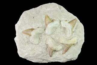 Otodus obliquus - Fossils For Sale - #137334