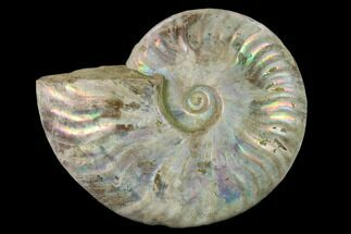 "5.3"" Silver Iridescent Ammonite (Cleoniceras) Fossil - Madagascar For Sale, #137396"
