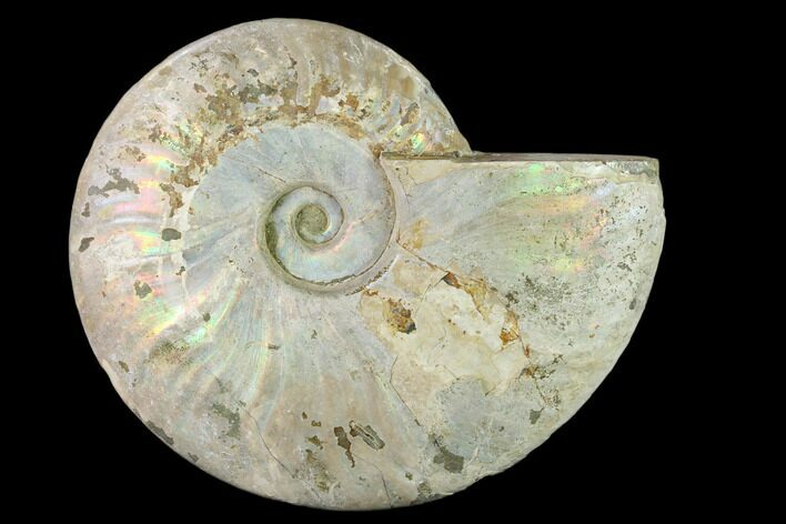 "5.9"" Silver Iridescent Ammonite (Cleoniceras) Fossil - Madagascar"