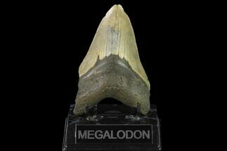 "4.77"" Fossil Megalodon Tooth - North Carolina For Sale, #124931"