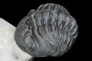 "Buy Bargain, 2.8"" Enrolled, Pedinopariops Trilobite - Mrakib, Morocco - #137692"