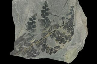 Sphenopteris sp. - Fossils For Sale - #137742