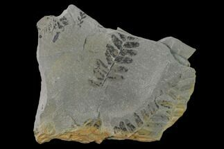 Neuropteris flexuosa - Fossils For Sale - #137721