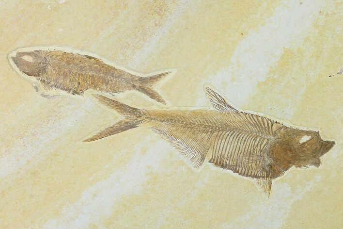 "6"" Diplomystus With Knightia Fossil Fish - Green River Formation"