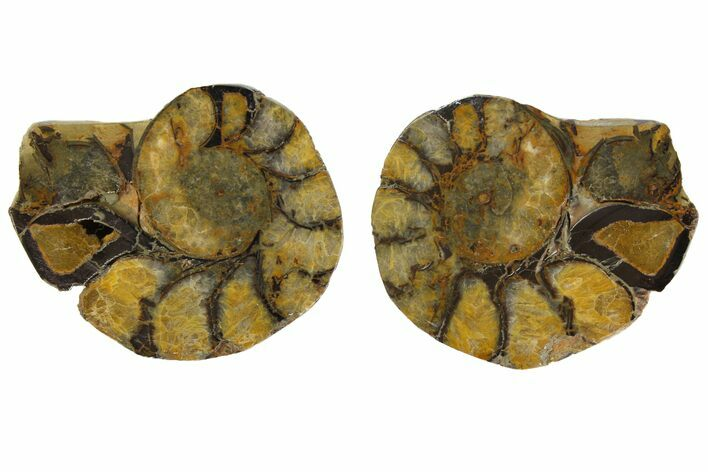 "2"" Iron Replaced Ammonite Fossil Pair - Morocco"