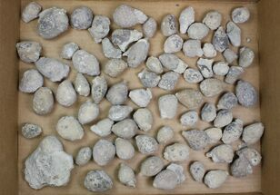 Buy Lot - Uncleaned Holocystites Cystoids - 75 Pieces - #138166