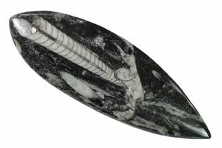 "Buy 5"" Polished Fossil Orthoceras (Cephalopod) - Morocco - #138403"
