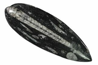 "5"" Polished Fossil Orthoceras (Cephalopod) - Morocco For Sale, #138269"