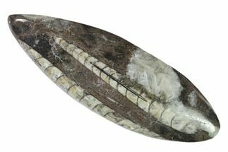 "4.8"" Polished Fossil Orthoceras (Cephalopod) - Morocco For Sale, #138332"