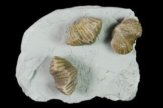 Three Fossil Brachiopods (Platystrophia) Mounted On Shale - Kentucky For Sale, #138836
