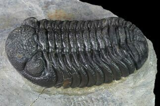 "Buy 2.25"" Detailed Morocops Trilobite - Ofaten, Morocco - #138952"