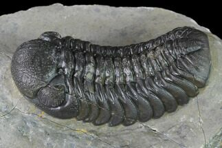 "Buy 2.2"" Austerops Trilobite - Nice Eye Facets - #138955"