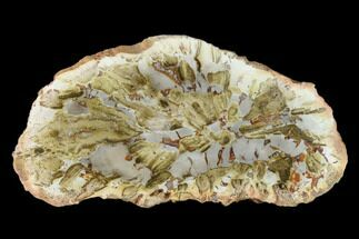 "4.9"" Petrified Wood (Araucaria) Slab - Madagascar  For Sale, #139568"