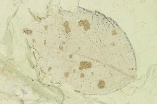 Populus balsamoides - Fossils For Sale - #139476
